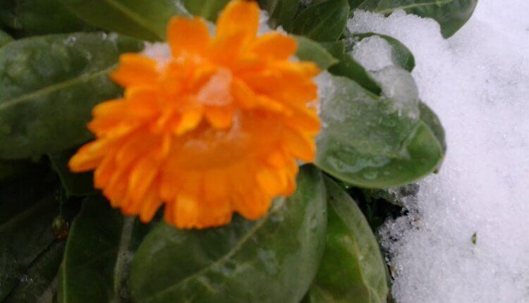 Cveće pod današnjim snegom (Foto: Branka Kalić)