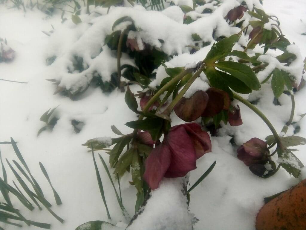 Cveće pod snegom u Adi - 19. mart