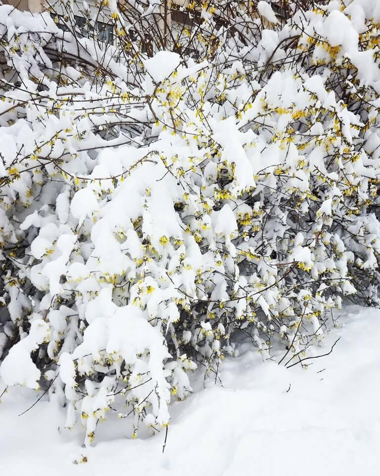 Cvetovi pod snegom u Novom Sadu
