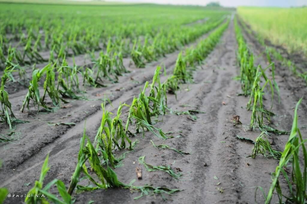 Vrlo ozbiljna šteta na kukuruzu - 23. maj