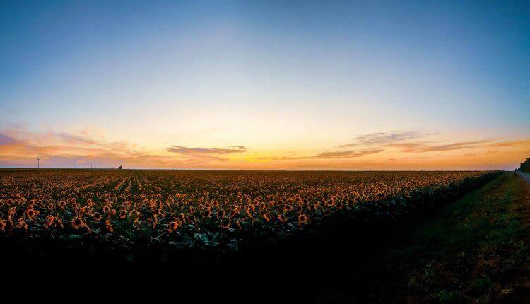 Suncokretova polja i zalazak sunca