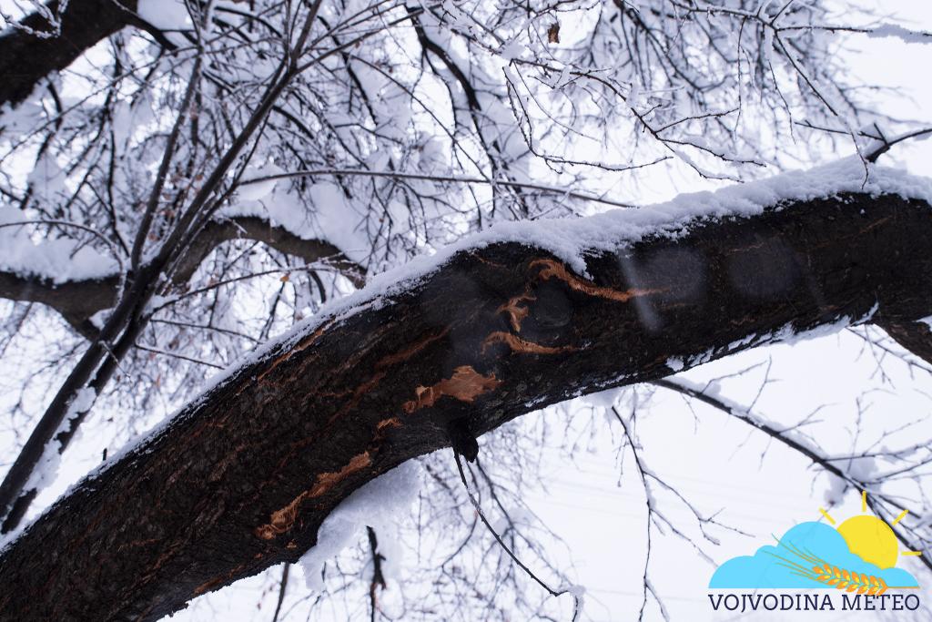 Mokar i težak sneg lomi grane 2