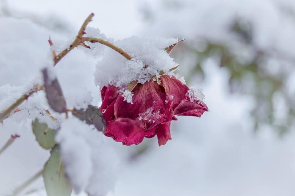 Sneg je okovao i ružu